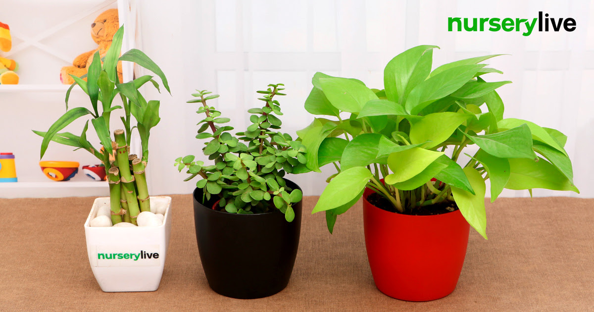 NurseryLive – Lucky Bamboo Plant With Color Pot For FREE